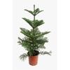 araucaria-heterophylla-h90-p21