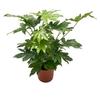fatsia japonica fatsie du japon - La jardinerie de pessicart nice - Livraison a domicile nice 06 plantes vertes terres terreaux jardinage