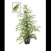 ficus benjamina twilight - La jardinerie de pessicart nice - Livraison a domicile nice 06 plantes vertes terres terreaux jardinage