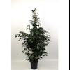 ficus benjamina danielle - La jardinerie de pessicart nice - Livraison a domicile nice 06 plantes vertes terres terreaux jardinage