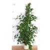 ficus benjamina exotica - La jardinerie de pessicart nice - Livraison a domicile nice 06 plantes vertes terres terreaux jardinage