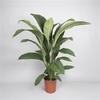 fleur de lune Spathiphyllum 2- La jardinerie de pessicart nice - Livraison a domicile nice 06 plantes vertes terres terreaux jardinage arbres cactus