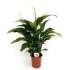 fleur de lune Spathiphyllum- La jardinerie de pessicart nice - Livraison a domicile nice 06 plantes vertes terres terreaux jardinage arbres cactus
