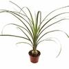 pied elephant mini beaucarnea - La jardinerie de pessicart nice - Livraison a domicile nice 06 plantes vertes terres terreaux jardinage arbres cactus
