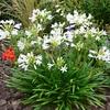Agapanthe blanche-la jardinerie de pessicart nice 06100