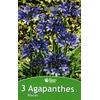 530-5341 Poch. de 3 AGAPANTHES bleues cal.I la jardinerie de pessicart nice 06100