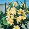 laurier-rose-luteum-plenum-jaune la jardinerie de pesicart nice 06100