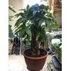 pachira aquatica - La jardinerie de pessicart nice - Livraison a domicile nice 06 plantes vertes terres terreaux jardinage arbres cactus