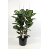 ficus robusta- La jardinerie de pessicart nice - Livraison a domicile nice 06 plantes vertes terres terreaux jardinage arbres cactus