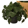 pilea peperomoides - La jardinerie de pessicart nice - Livraison a domicile nice 06 plantes vertes terres terreaux jardinage arbres cactus