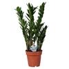 zamioculcas zamiifolia 19 - La jardinerie de pessicart nice - Livraison a domicile nice 06 plantes vertes terres terreaux jardinage arbres cactus