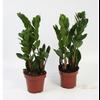 zamioculcas zamiifolia 13 - La jardinerie de pessicart nice - Livraison a domicile nice 06 plantes vertes terres terreaux jardinage arbres cactus