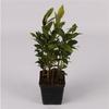 laurier sauce herbe aromatique  - La jardinerie de pessicart nice - Livraison a domicile nice 06 plantes vertes terres terreaux jardinage arbres cactus