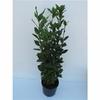 laurier sauce herbe aromatique 2 - La jardinerie de pessicart nice - Livraison a domicile nice 06 plantes vertes terres terreaux jardinage arbres cactus