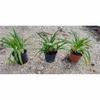 agapanthes 2- La jardinerie de pessicart nice - Livraison a domicile nice 06 plantes vertes terres terreaux jardinage arbres cactus