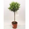 olivier tige olea europaea - La jardinerie de pessicart nice - Livraison a domicile nice 06 plantes vertes terres terreaux jardinage arbres cactus