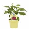 framboisier- La jardinerie de pessicart nice - Livraison a domicile nice 06 plantes vertes terres terreaux jardinage arbres cactus