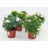 anthemis 2 - La jardinerie de pessicart nice - Livraison a domicile nice 06 plantes vertes terres terreaux jardinage arbres cactus