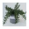 romarin corse aromatique -  La jardinerie de pessicart nice - Livraison a domicile nice 06 plantes vertes terres terreaux jardinage arbres cactus