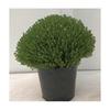 thym aromatique  -  La jardinerie de pessicart nice - Livraison a domicile nice 06 plantes vertes terres terreaux jardinage arbres cactus