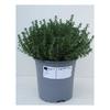 thym aromatique 2 -  La jardinerie de pessicart nice - Livraison a domicile nice 06 plantes vertes terres terreaux jardinage arbres cactus