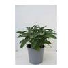 sauge aromatique -  La jardinerie de pessicart nice - Livraison a domicile nice 06 plantes vertes terres terreaux jardinage arbres cactus