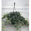 lierre hedera suspension 3 - La jardinerie de pessicart nice - Livraison a domicile nice 06 plantes vertes terres terreaux jardinage arbres cactus