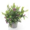 Polygala 2 - La jardinerie de pessicart nice - Livraison a domicile nice 06 plantes vertes terres terreaux jardinage arbres cactus