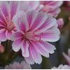 lewisia 4 - La jardinerie de pessicart nice - Livraison a domicile nice 06 plantes vertes terres terreaux jardinage arbres cactus