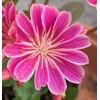 lewisia 3 - La jardinerie de pessicart nice - Livraison a domicile nice 06 plantes vertes terres terreaux jardinage arbres cactus