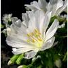 lewisia 6 - La jardinerie de pessicart nice - Livraison a domicile nice 06 plantes vertes terres terreaux jardinage arbres cactus