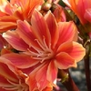 lewisia 5 - La jardinerie de pessicart nice - Livraison a domicile nice 06 plantes vertes terres terreaux jardinage arbres cactus