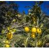 Citronnier - Image par Mario Hofer de Pixabay  - La jardinerie de pessicart nice - Livraison a domicile nice 06 plantes vertes terres terreaux jardinage arbres cactus