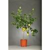 Citronnier 3 - La jardinerie de pessicart nice - Livraison a domicile nice 06 plantes vertes terres terreaux jardinage arbres cactus