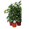 ficus benjamina - La jardinerie de pessicart nice - Livraison a domicile nice 06 plantes vertes terres terreaux jardinage arbres cactus