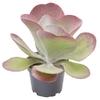Kalanchoe thyrsifolia - La jardinerie de pessicart nice - Livraison a domicile nice 06 plantes vertes terres terreaux jardinage arbres cactus