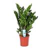 zamioculcas zamiifolia 27 - La jardinerie de pessicart nice - Livraison a domicile nice 06 plantes vertes terres terreaux jardinage arbres cactus