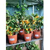 Calamondin espalier la jardinerie de pessicart nice 06100
