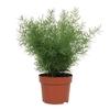 asparagus 2 - La jardinerie de pessicart nice - Livraison a domicile nice 06 plantes vertes terres terreaux jardinage arbres cactus