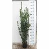 laurier sauce herbe aromatique 4 - Image par anandasandra de Pixabay - La jardinerie de pessicart nice - Livraison a domicile nice 06 plantes vertes terres terreaux jardinage arbres cactus