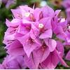 bougainvillea - Photo credit archer10 on Visualhunt.com - La jardinerie de pessicart nice - Livraison a domicile nice 06 plantes vertes terres terreaux jardinage arbres cactus