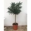 laurier rose nerium oleander 2 - La jardinerie de pessicart nice - Livraison a domicile nice 06 plantes vertes terres terreaux jardinage arbres cactus