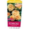rosier Bellagio la jardinerie de pessicart Nice 06100