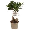 ficus ginseng La jardinerie de pessicart nice - Livraison a domicile nice 06 plantes vertes terres terreaux jardinage arbres cactus