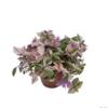 tradescantia misere quadricolor  -  La jardinerie de pessicart nice - Livraison a domicile nice 06 plantes vertes terres terreaux jardinage arbres cactus