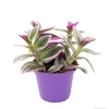 tradescantia misere nanouk  -  La jardinerie de pessicart nice - Livraison a domicile nice 06 plantes vertes terres terreaux jardinage arbres cactus