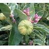 Citronnier - www.aujardin.info - La jardinerie de pessicart nice - Livraison a domicile nice 06 plantes vertes terres terreaux jardinage arbres cactus