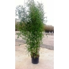 PHYLLOSTACHYS AUREA - la jardinerie de pessicart nice 06100