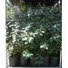 ELEAGNUS la jardinerie de pessicart nice 06100