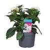 pentas 5 - La jardinerie de pessicart nice - Livraison a domicile nice 06 plantes vertes terres terreaux jardinage arbres cactus